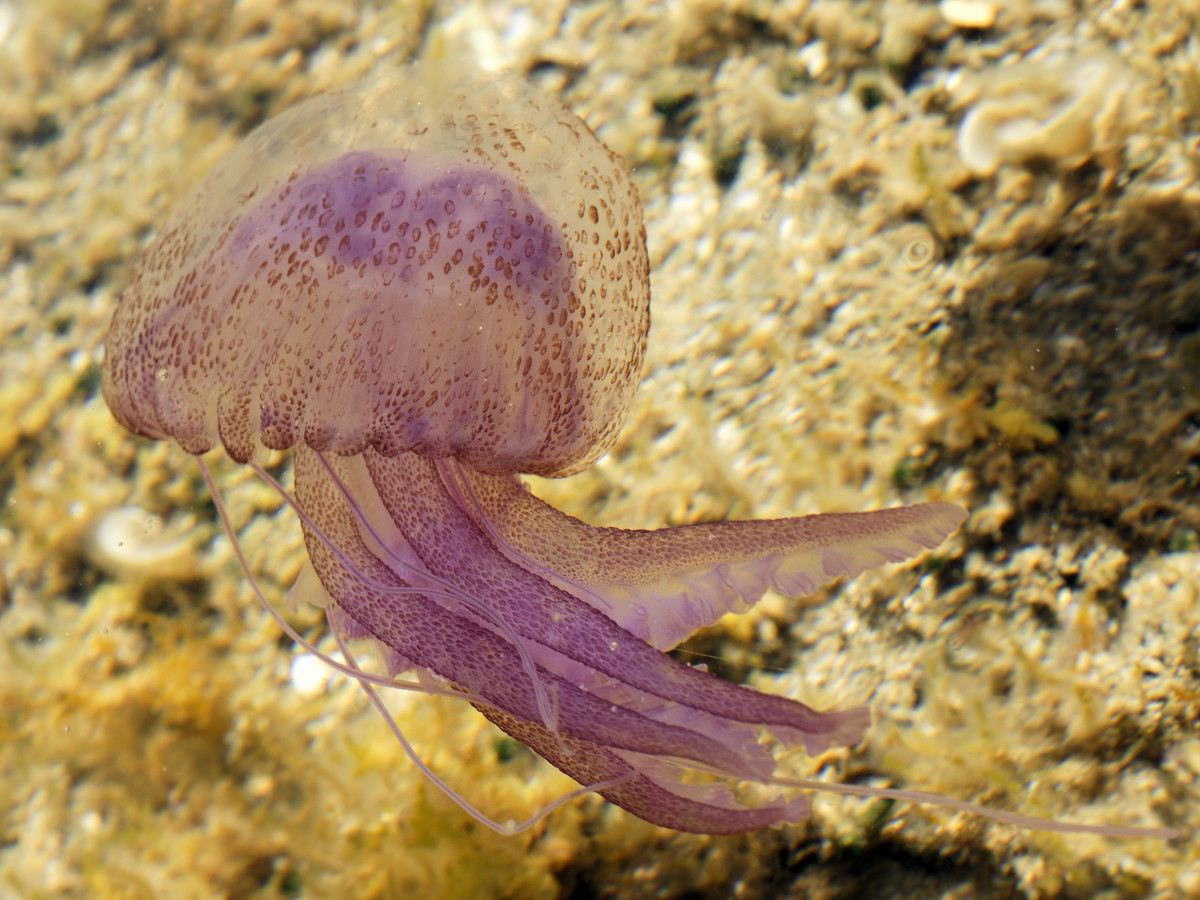 Invertebrate Animals: Jellyfish