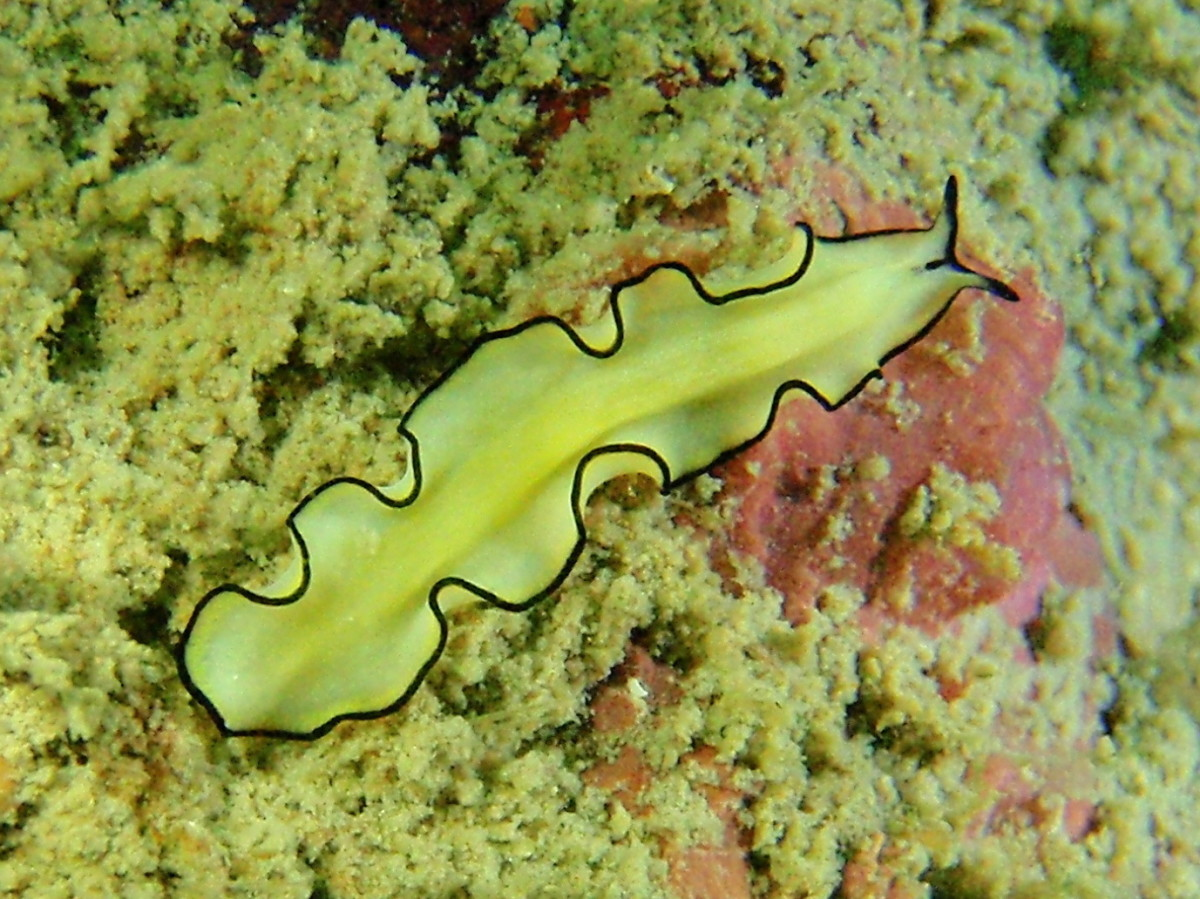 Invertebrate Animals: Flatworms