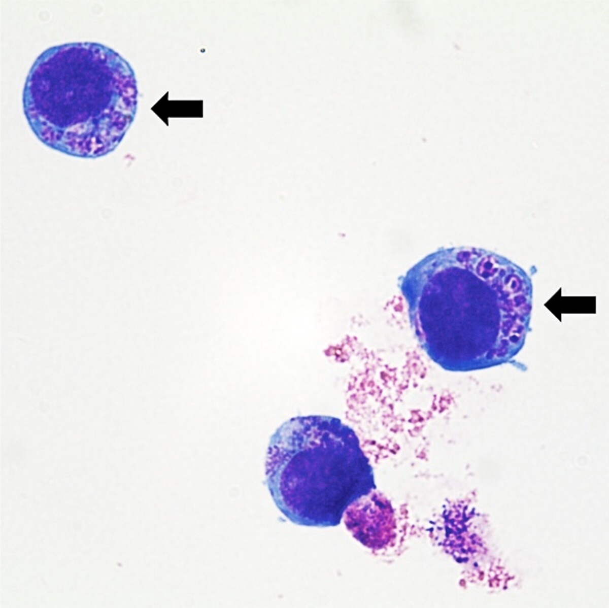 Anaplasma phagocytophilum in cultured white blood cells