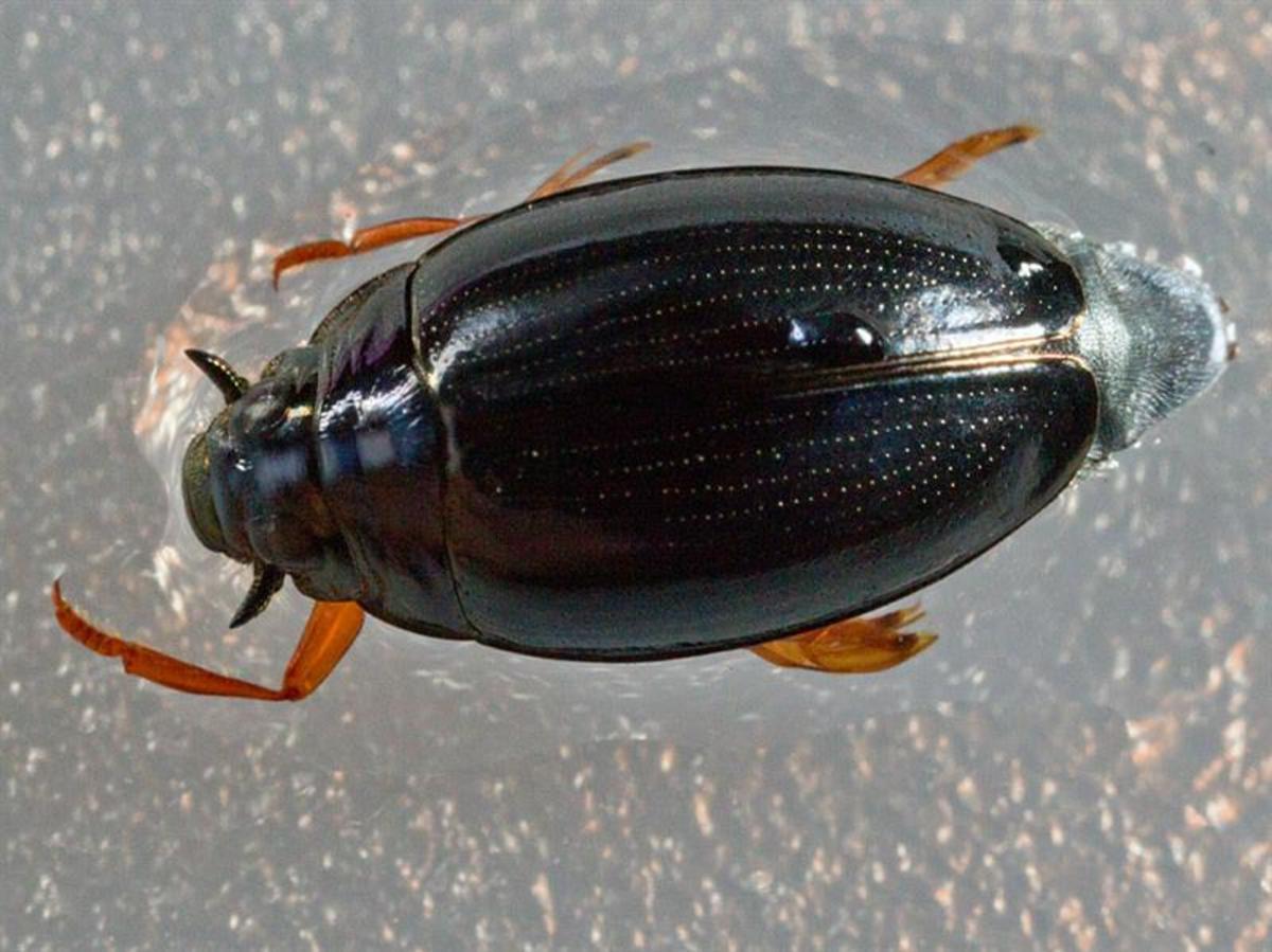 whirligig-beetles