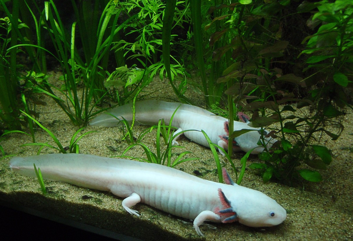 Axolotls at the Vancouver Aquarium