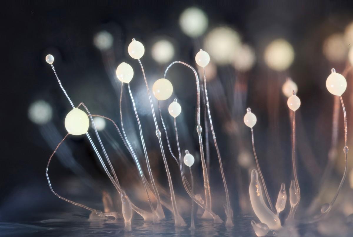 Fruiting bodies of Dictyostelium discoideum growing on black agar