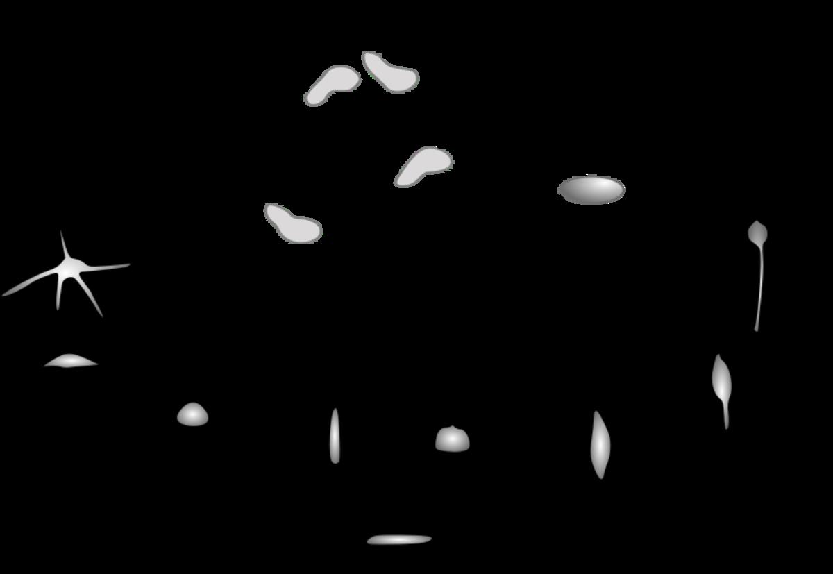 Life cycle of a social amoeba or cellular slime mold