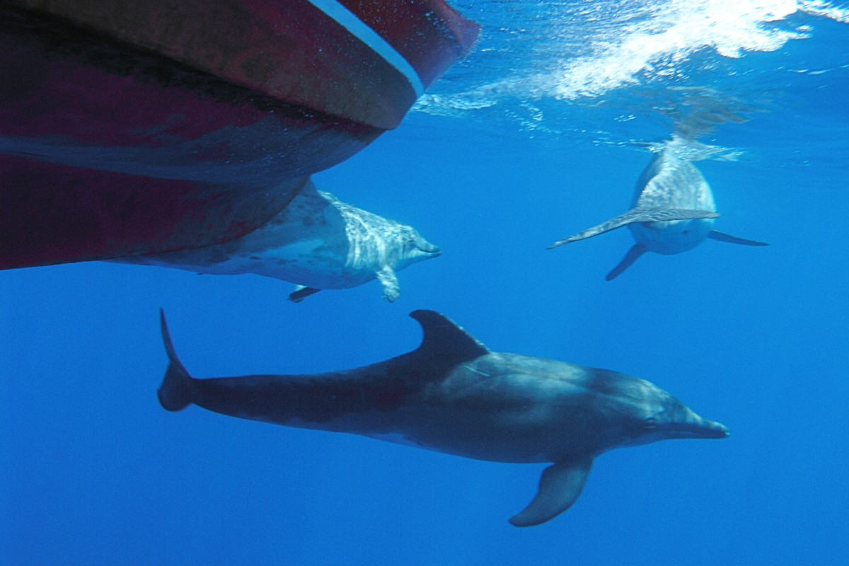 Rough-toothed dolphins by a whale-watching boat