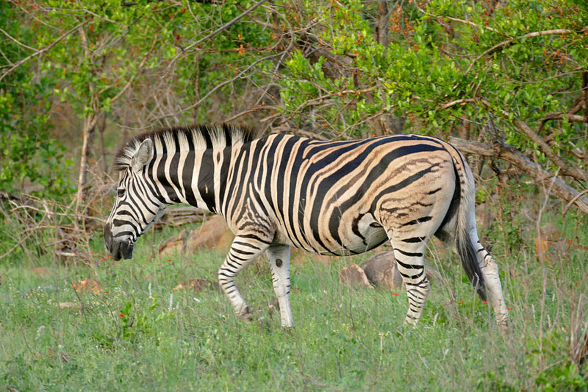 This species is also known as the common or Burchell's Zebra.