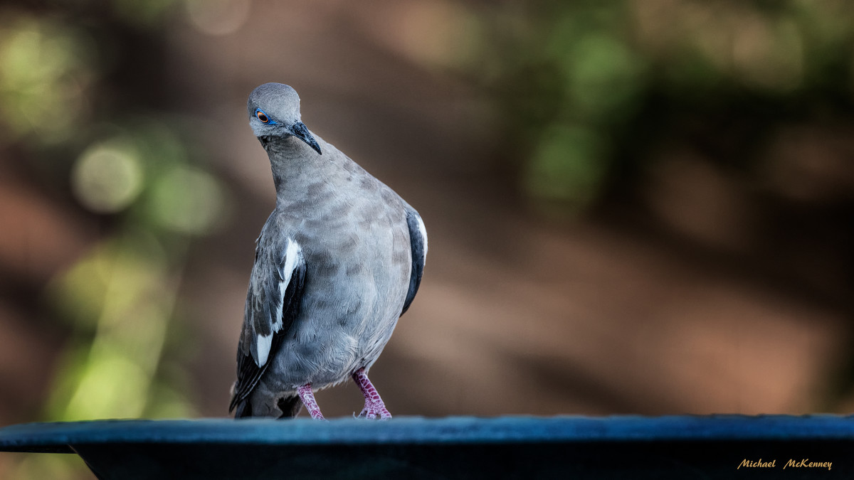 This is one of our beautiful backyard visitors, a white-winged dove who was apparently trying to determine if our dog, who was nearby, was going to get in the way of a cool drink of water from our birdbath.