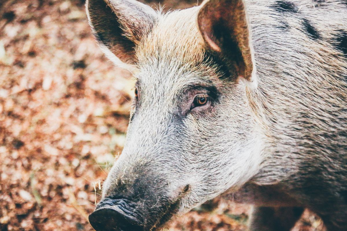 In the story, Diana thinks she is losing her mind when she meets a boar who evidently is her spirit animal and can talk to her.
