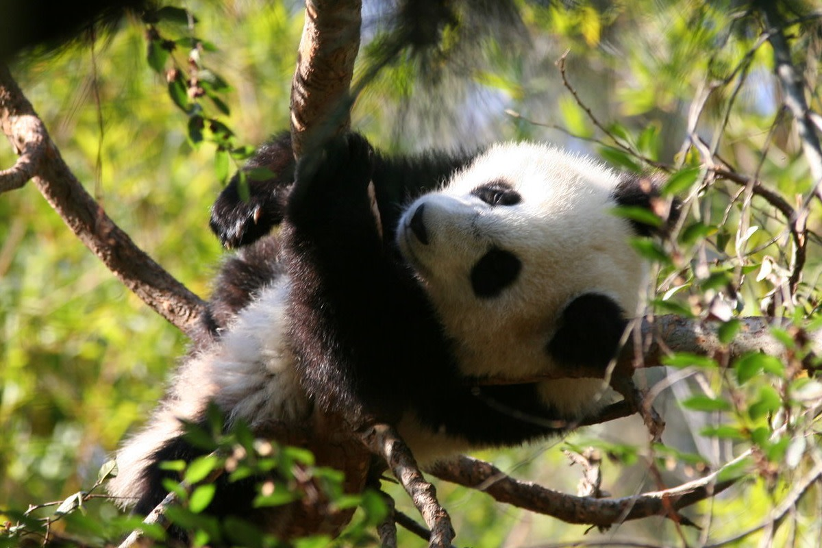 top-10-facts-about-giant-pandas