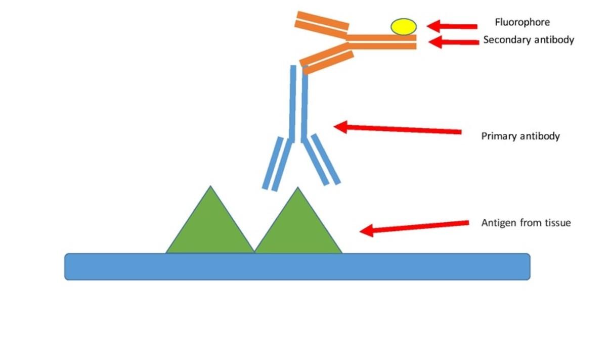 Illustration of antibody binding.