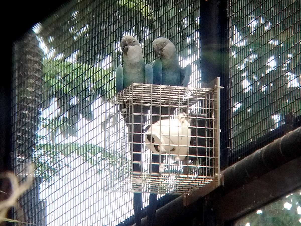 Adult Spix's macaws