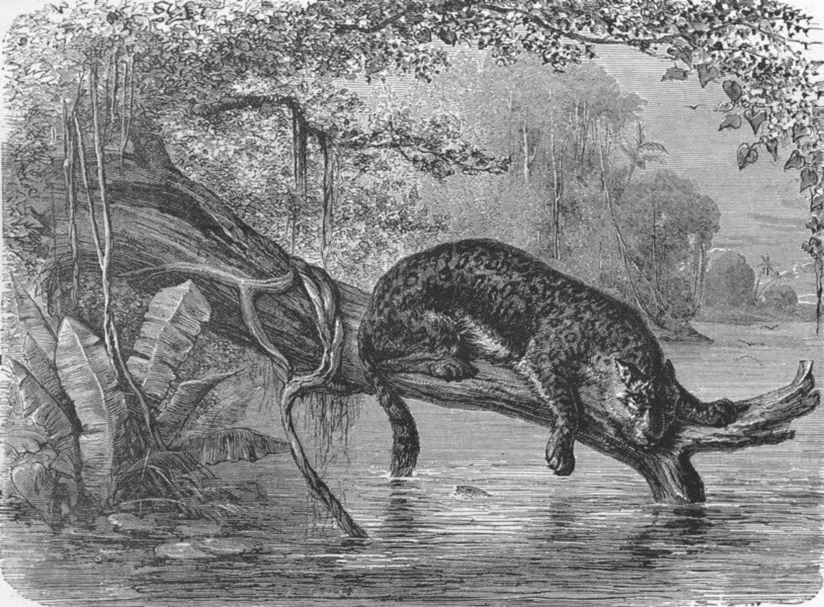 Jaguar fishing on the banks of the Orinoco River in Venezuela. Though Columbus did not venture up the Orinoco, he is generally credited as the first European explorer to set foot on the South American continent.