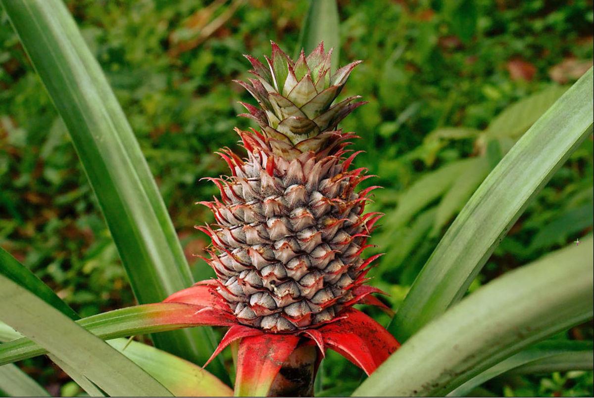 Red pineapple (Ananas bracteatus)