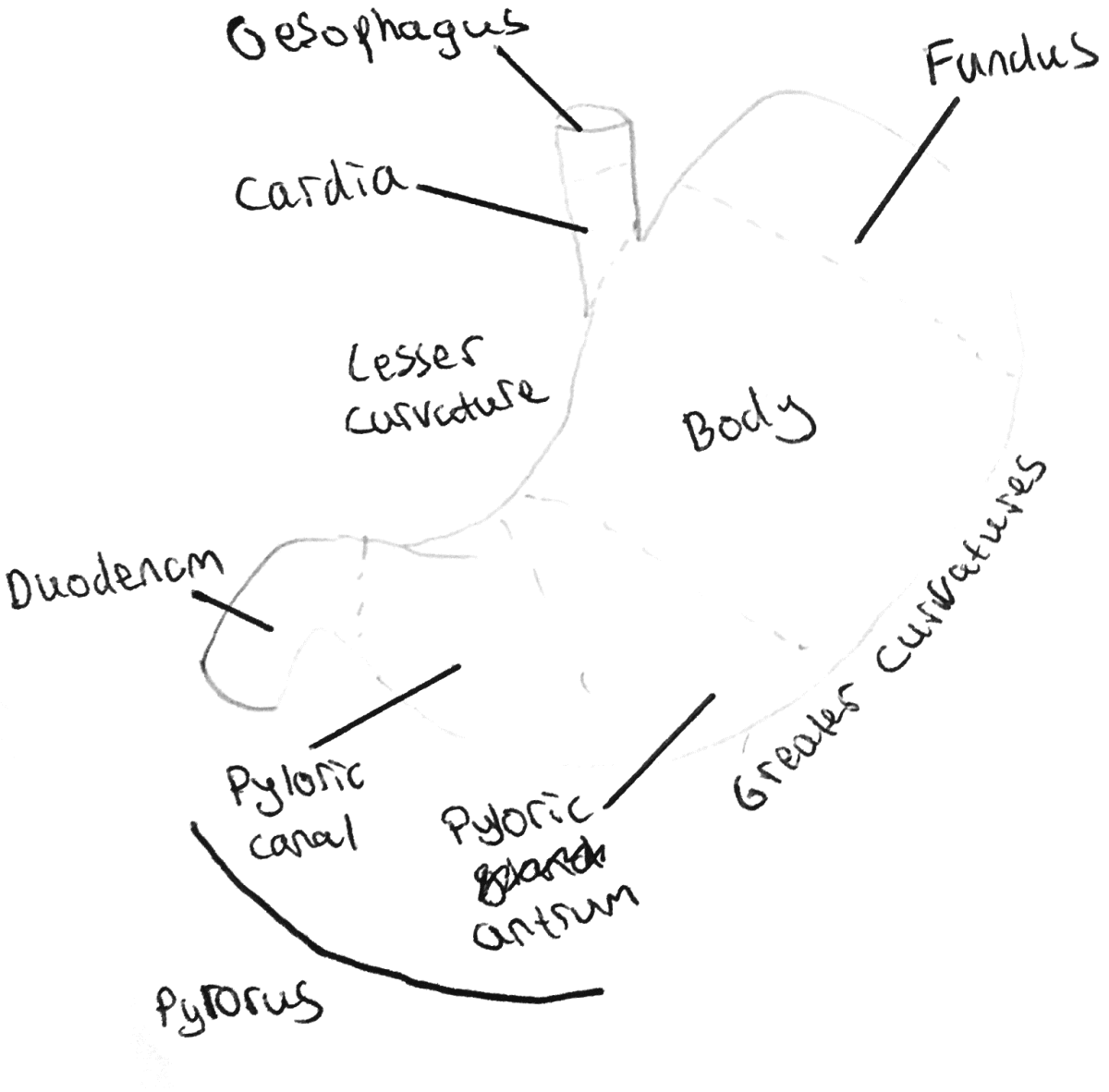 histology-and-anatomy-of-the-digestive-system