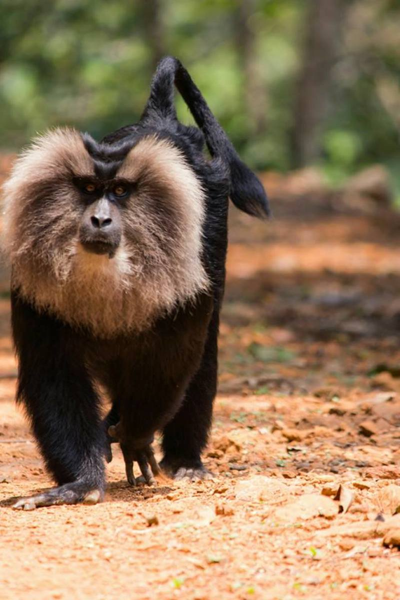 This striking lion-tailed macaque is probably looking for food on the ground in the form of seeds, young leaves, flowers, buds or fungi, as most of their time is spent high in the upper canopy of the evergreen trees.