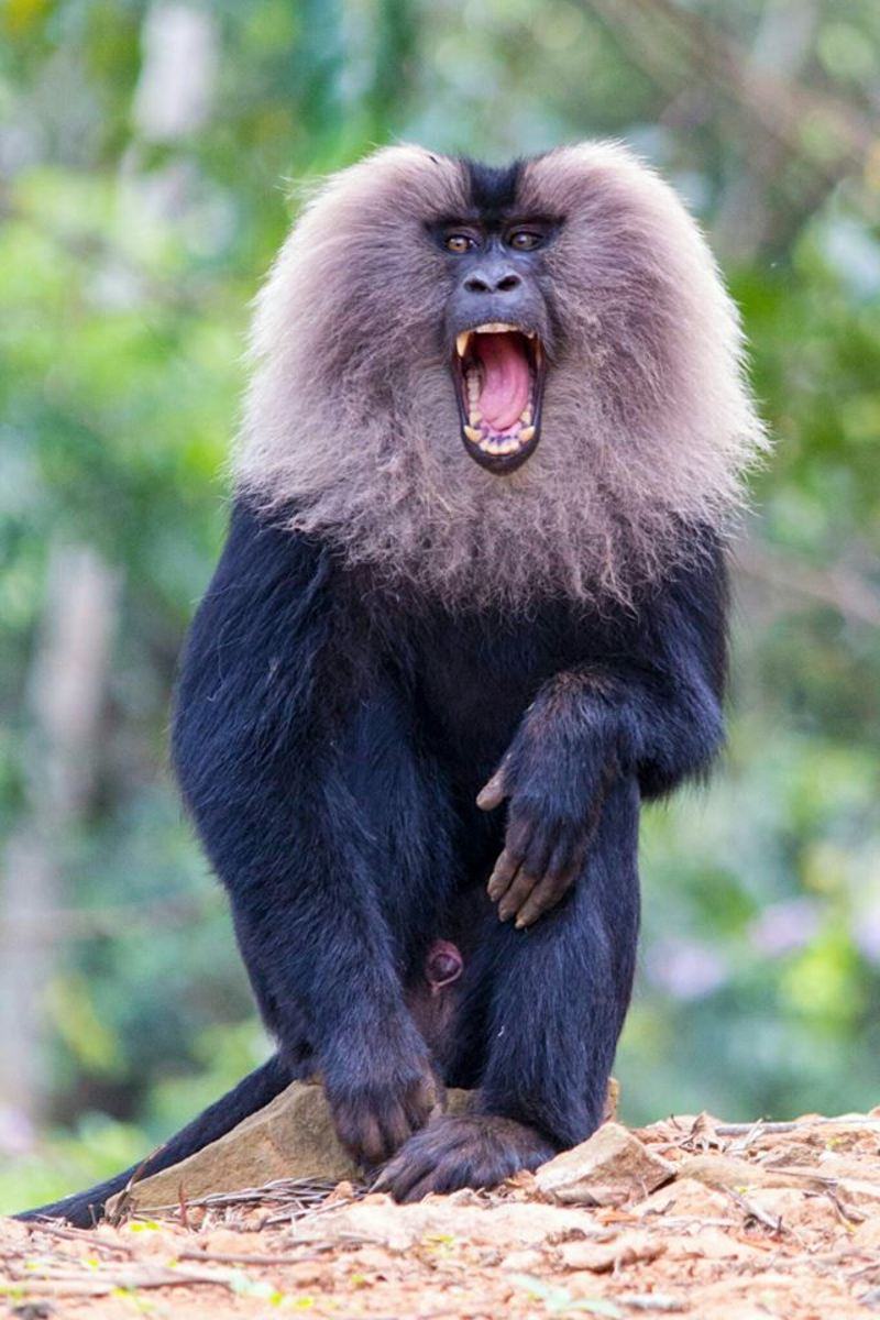 Lion-tailed macaque groups are territorial and males of this species are the only macaques that use calls to denote their territorial boundaries.
