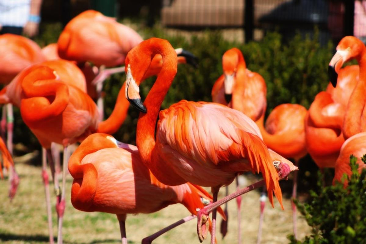 Researchers still don't know why flamingos like standing on one leg.