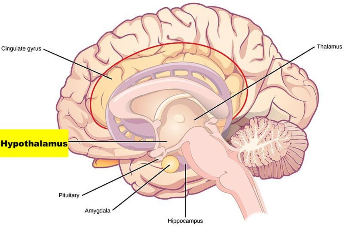 The hypothalamus, which is part of the brain's limbic system, has a direct connection with the lacrimal glands.