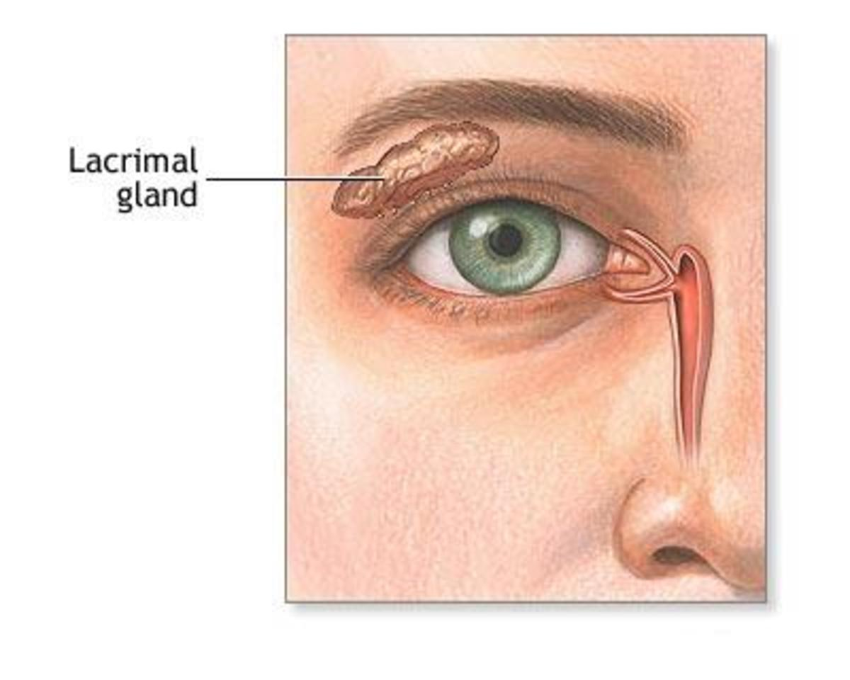 The lacrimal glands, more commonly known as the tear ducts, sit just under the upper eyelid and are responsible for producing tears.