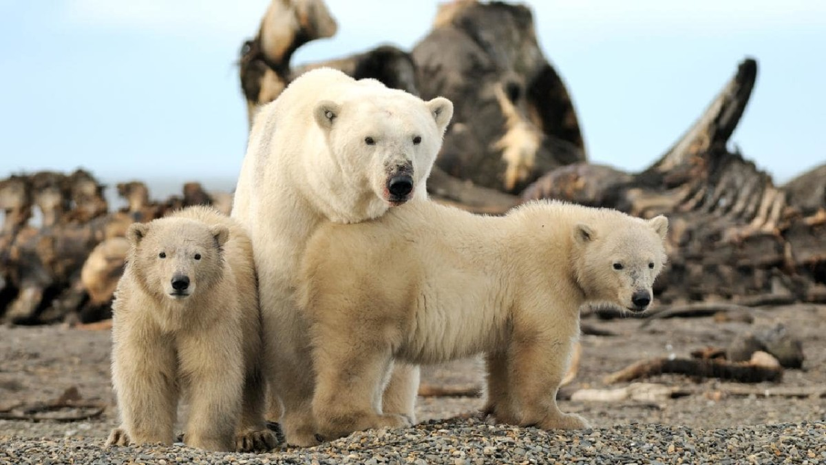People yearning to see polar bears in the wild recently got their wish one tiny Alaska native village, Kaktovik, which has experienced a boom in tourism recently as the polar bears spend more time on land than on the diminishing Arctic sea ice.