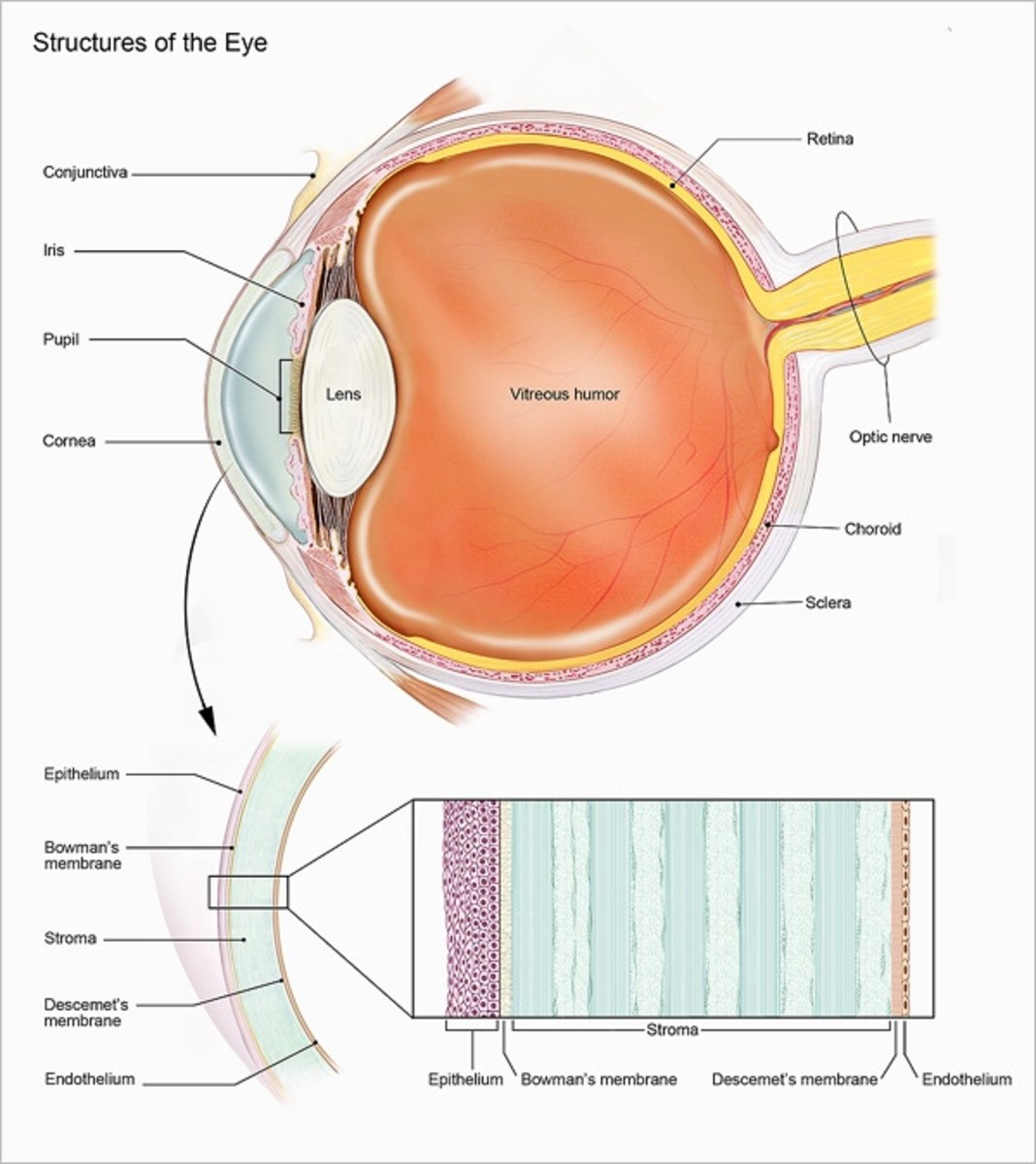 Structure of the eye and the cornea