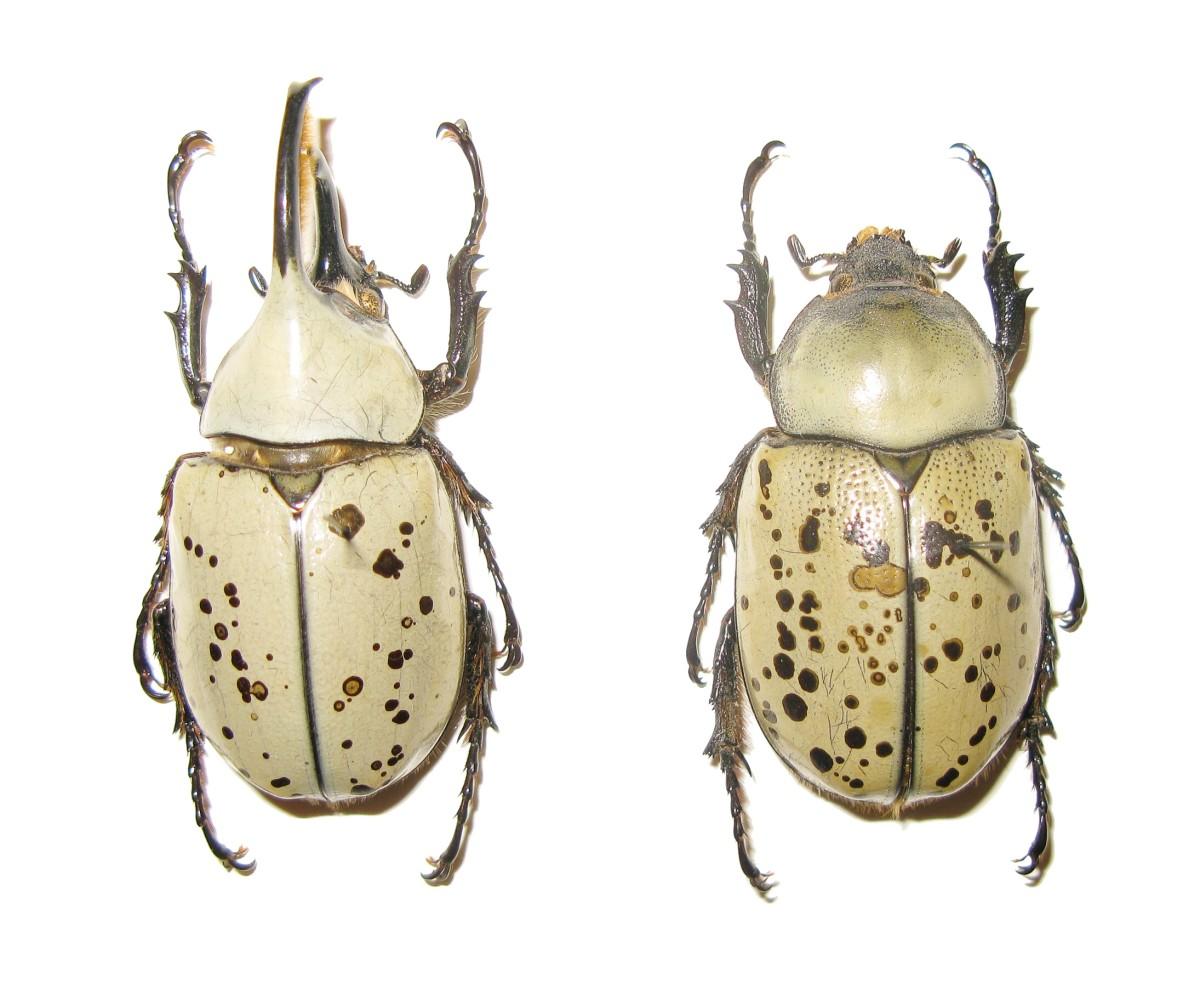 A male and female western Hercules beetle