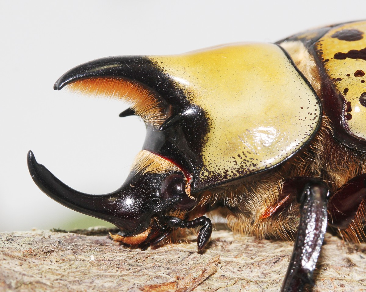 A close-up view of the front end of an eastern Hercules beetle