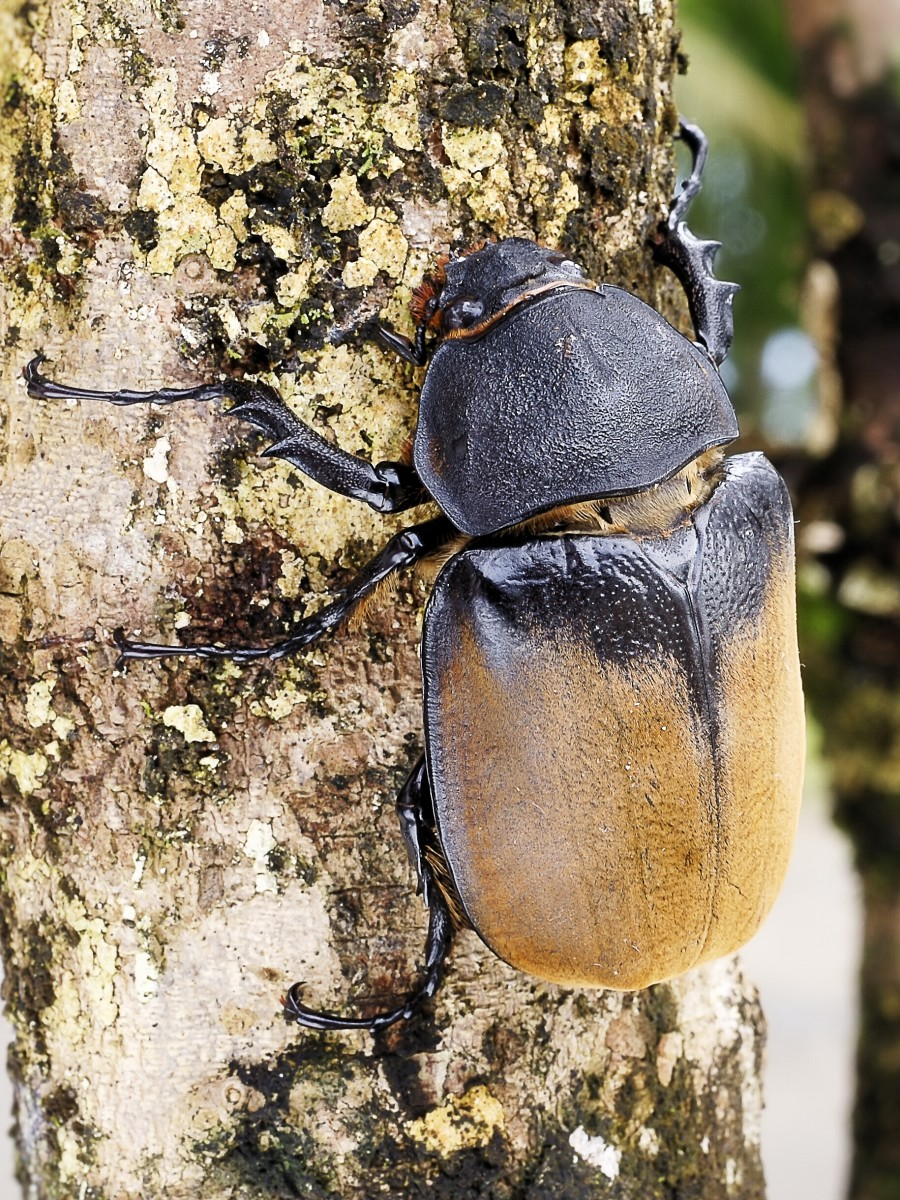 A female Hercules beetle in Costa Rica