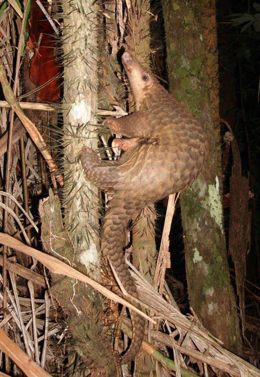 Javanese Pangolin
