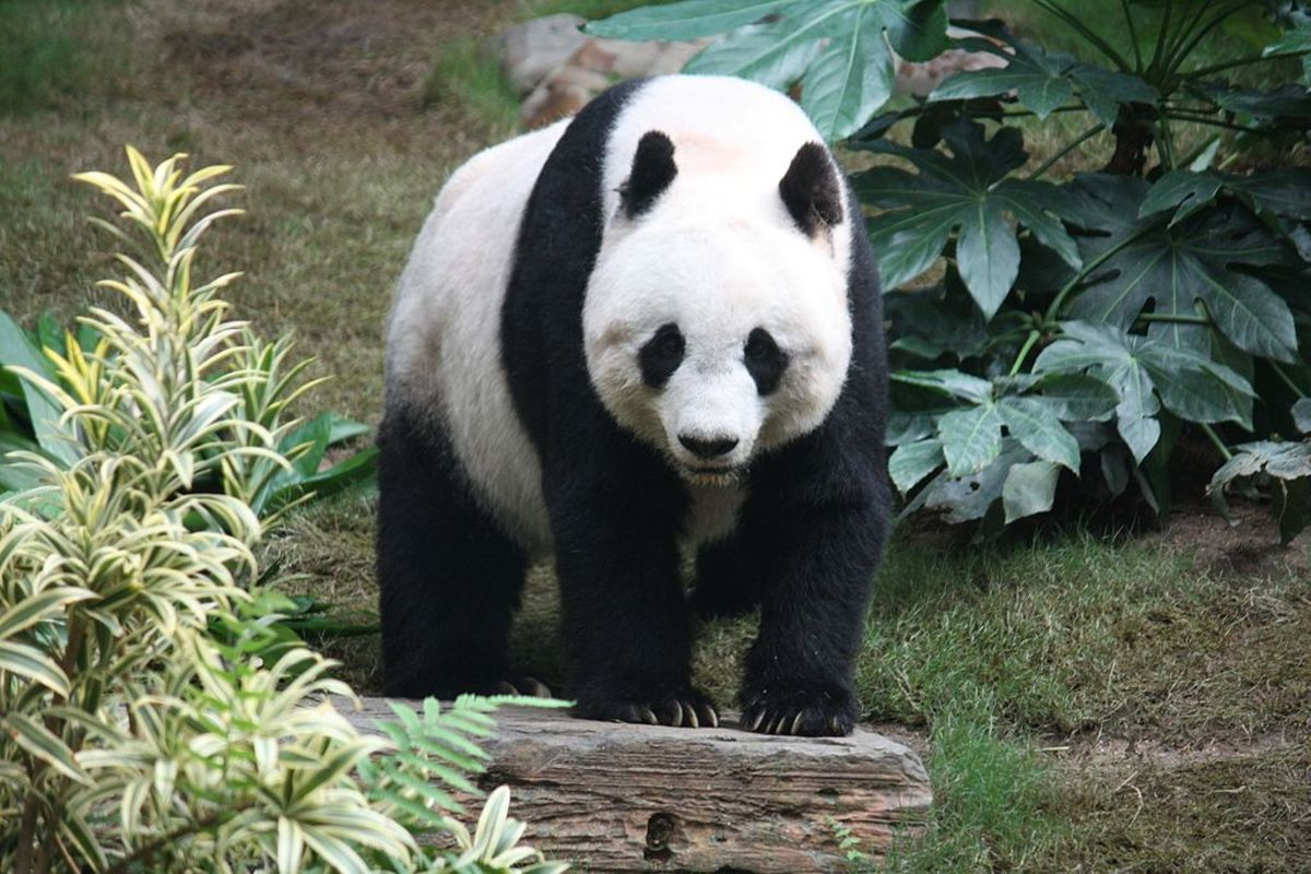 Giant panda, symbol of the World Wide Fund for Nature