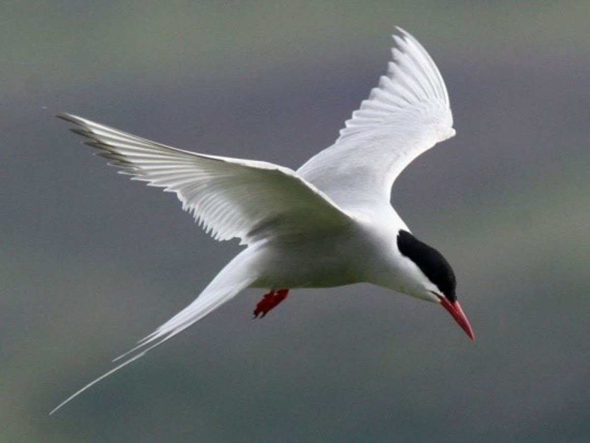 The Arctic Tern can travel incredible distances and find its way home again