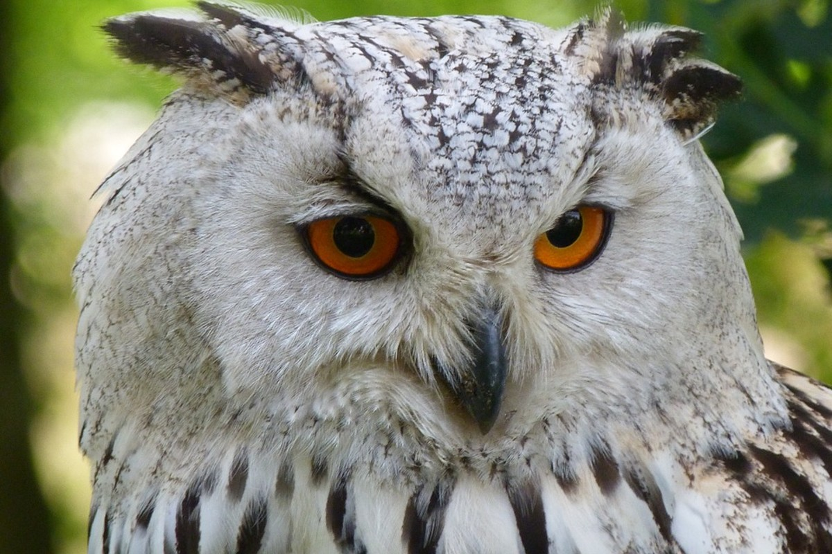 The owl has a reputation for being wise, but in reality, it is nowhere near as intelligent as some other birds like the crow or parrot