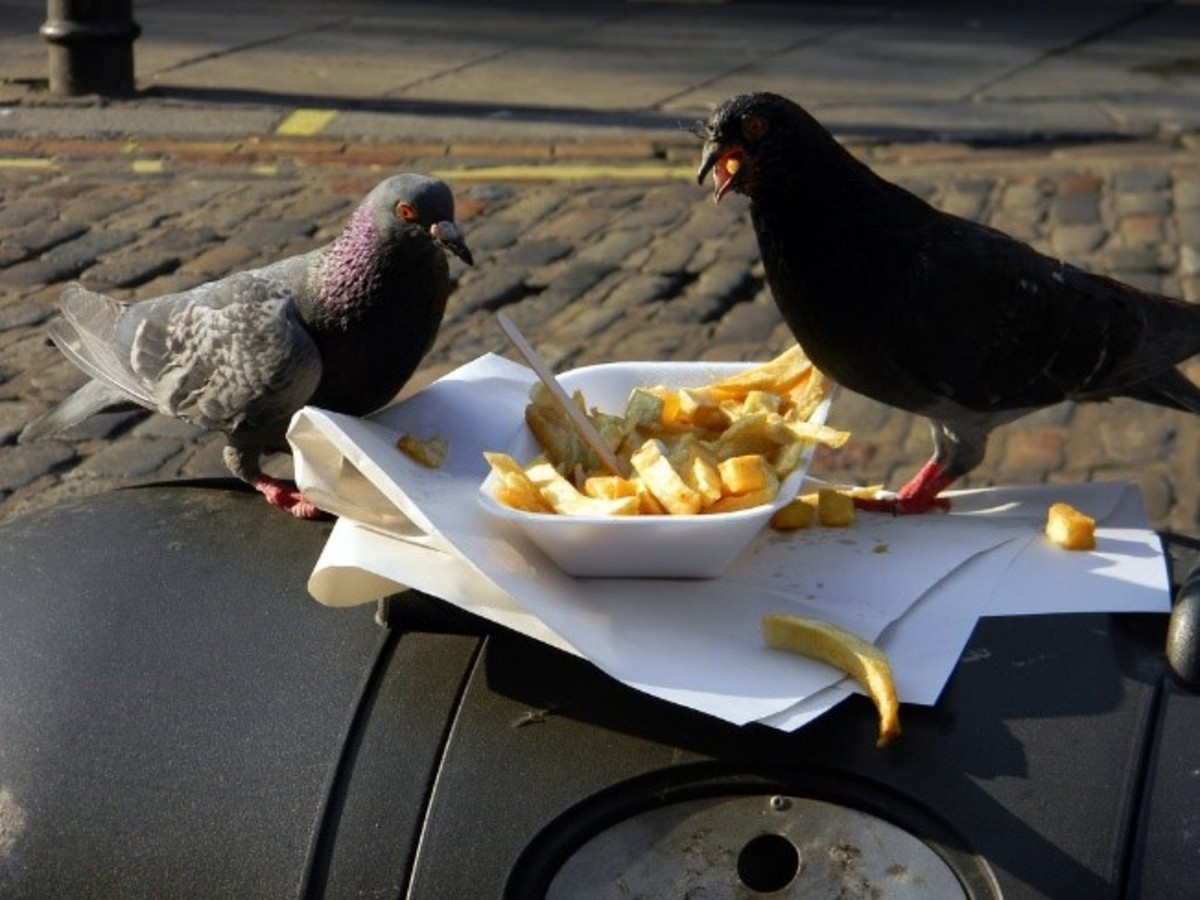 The pigeon will eat almost any left overs that we leave behind