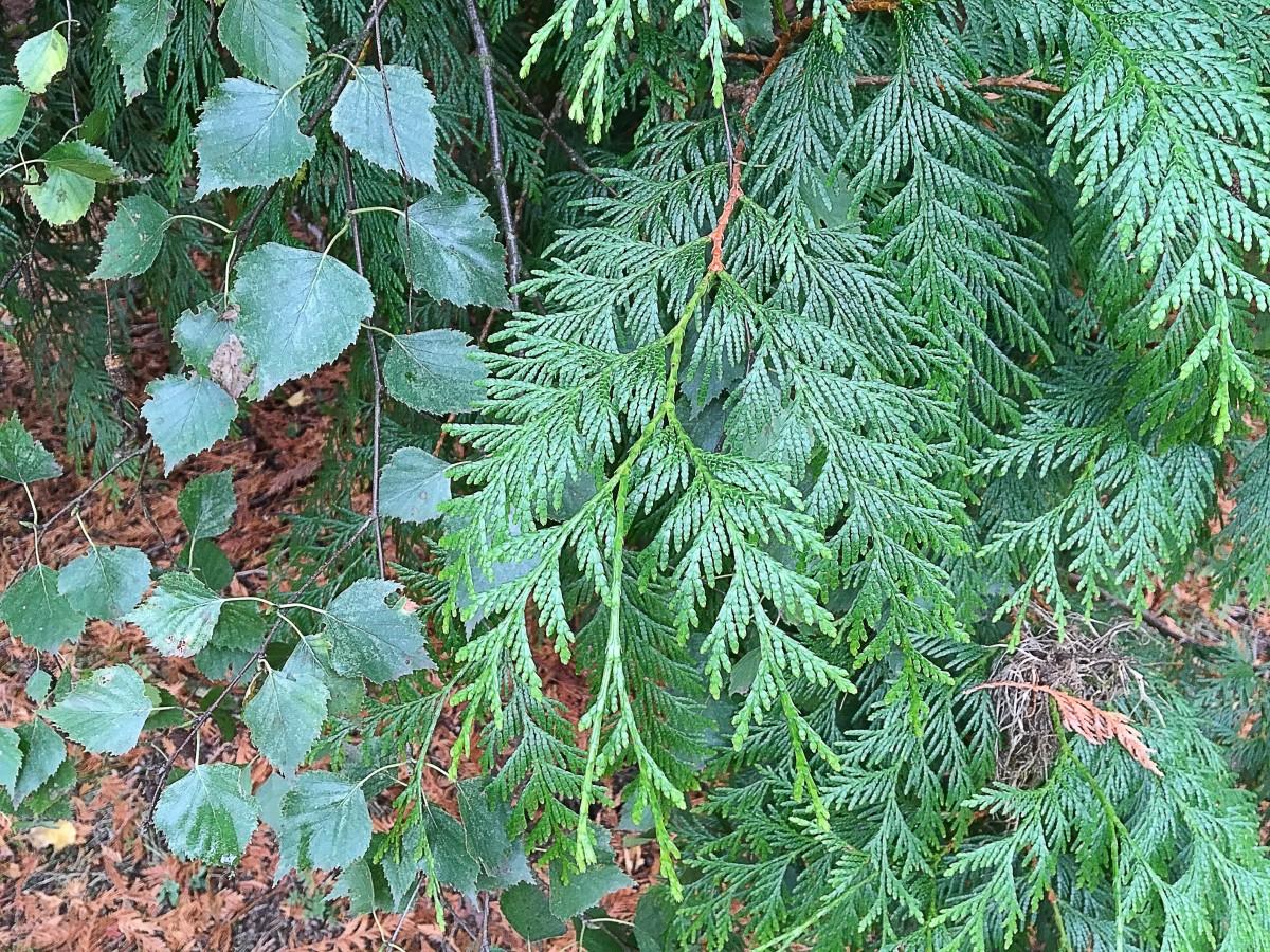 The cedar and the birch