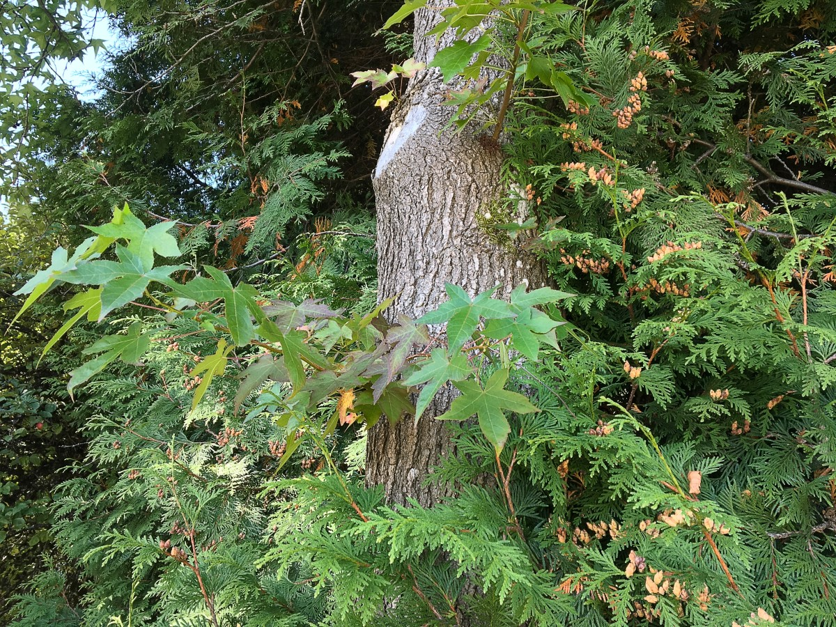 Western red cedar with cones and leaves from an American sweetgum tree