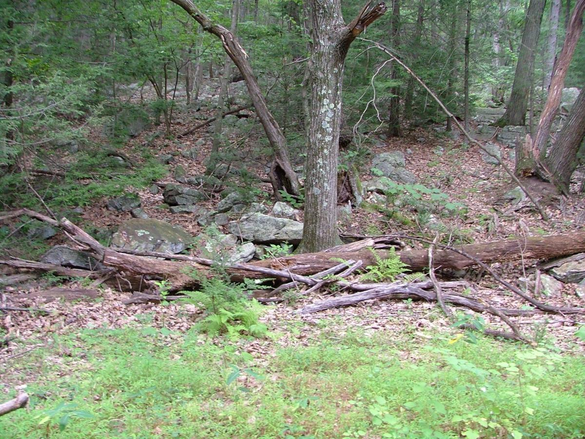 A typical view of the forest in Stony Valley. Ruins of long-gone dwellings often lay hidden among the growth, easily missed when walking by.