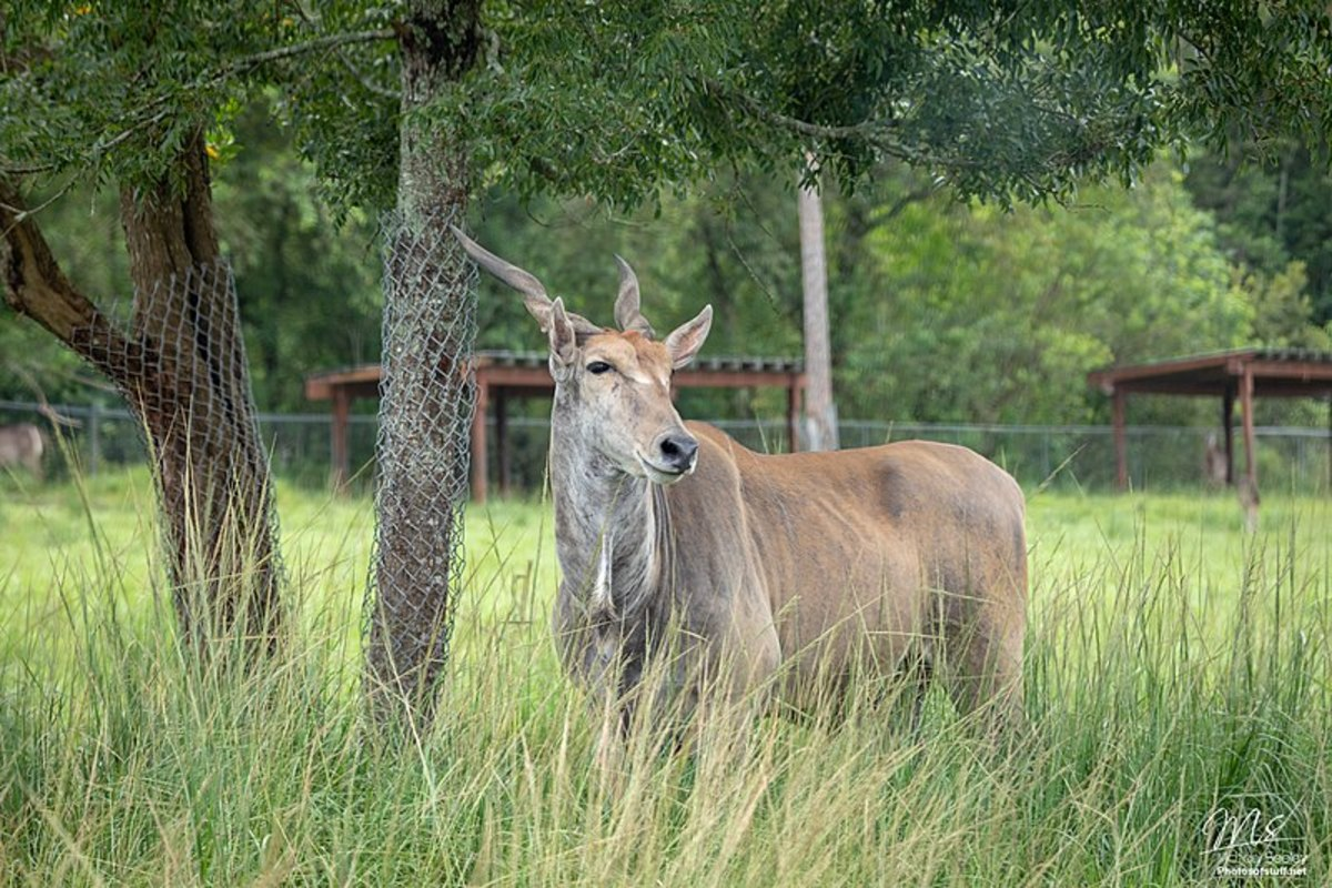 An eland is not a sight one would normally associate with a farm, but their size and toughness make them a better choice than cattle.