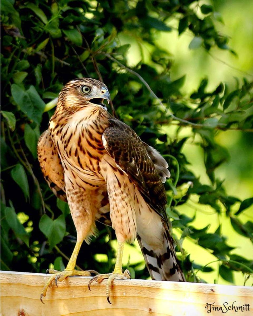 Once a Cooper's hawk spots what it perceives to be its next meal, it becomes focused and determined.