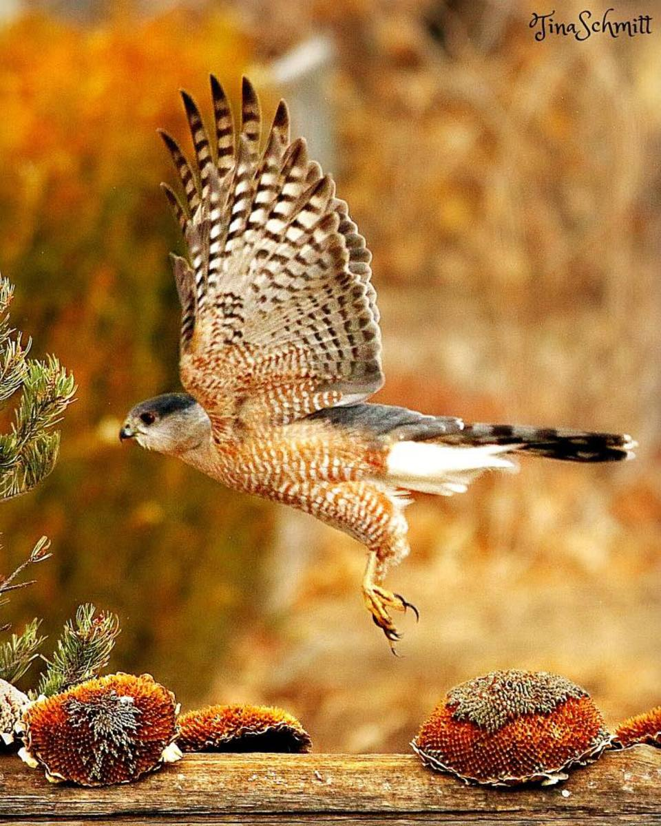 There are bird experts who cannot distinguish a Sharp-Shinned hawk from a Cooper's hawk, although a Cooper's hawk is larger, more powerful and able to take down larger prey.