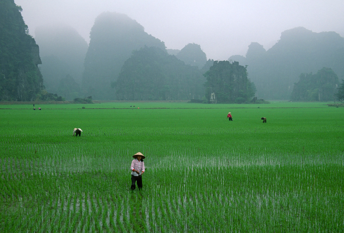 Rice fields in Vietnam.