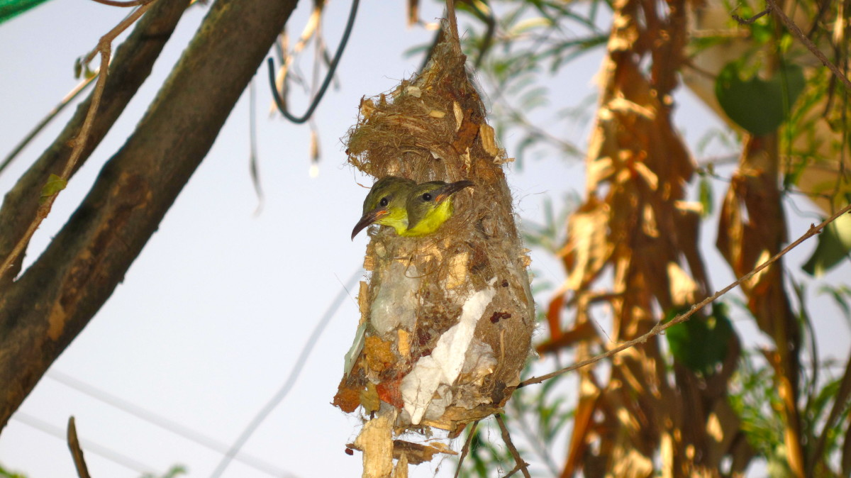 The spider silk provides elasticity to the nest and can expand with the growing chicks.