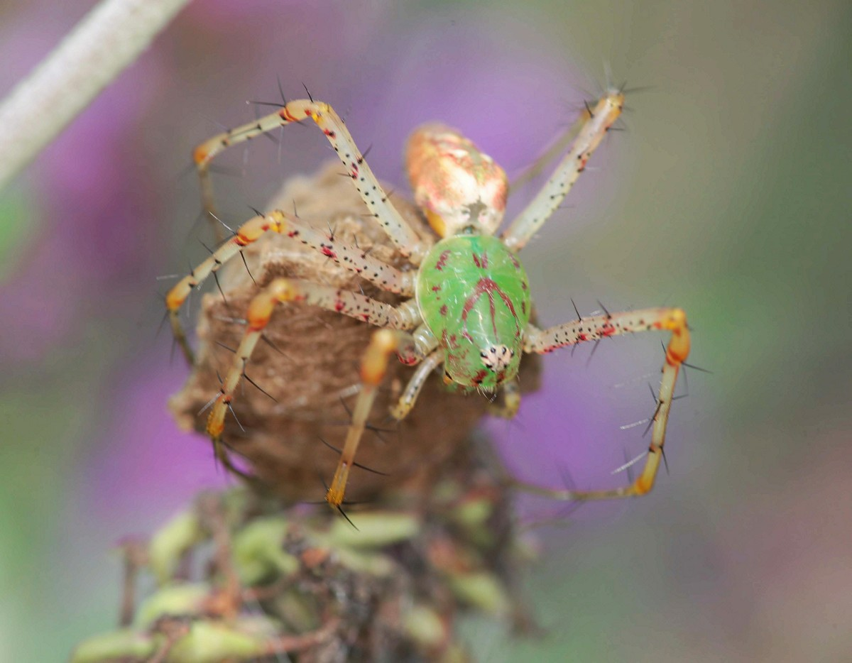 Green lynx spider sitting on egg sack.