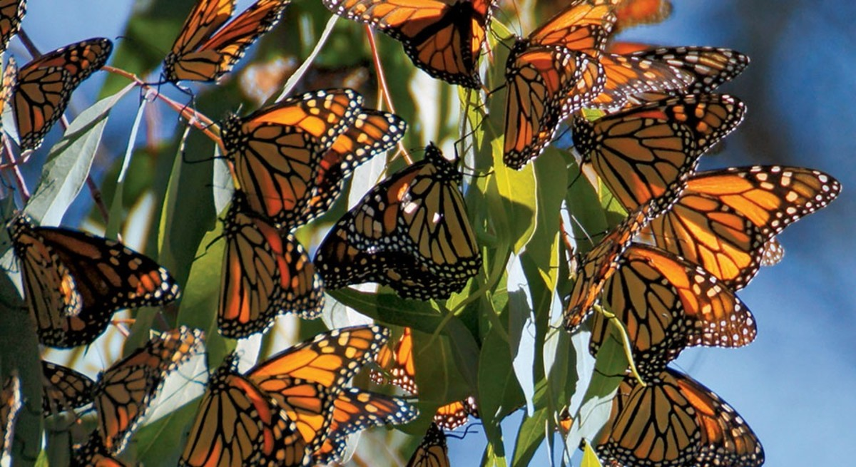 The monarch butterfly is famous for its annual migration.