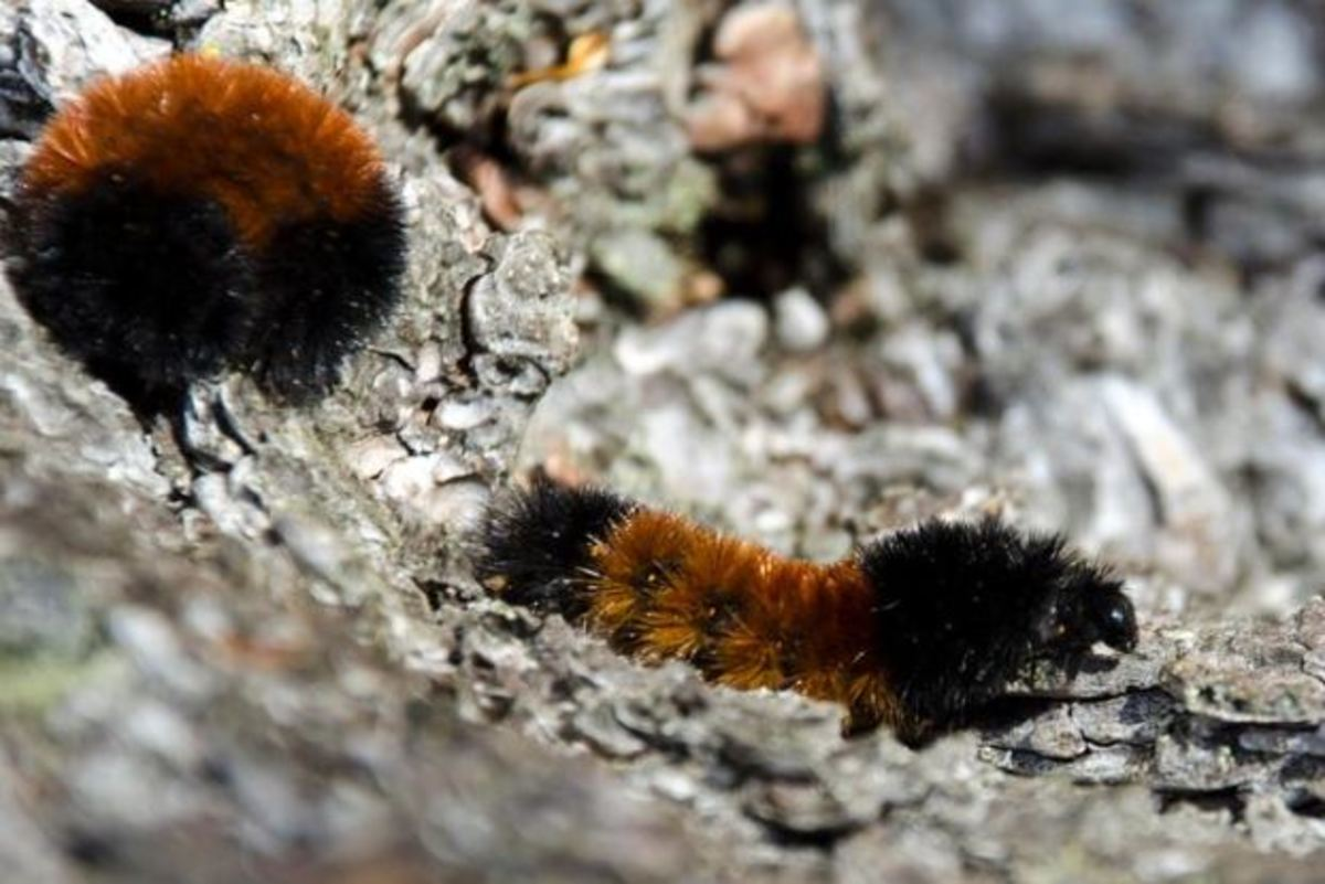 The wooly bear moth caterpillar produces alcohols that allow it to avoid freezing at temperatures as low as -70 degrees F / -57 C.