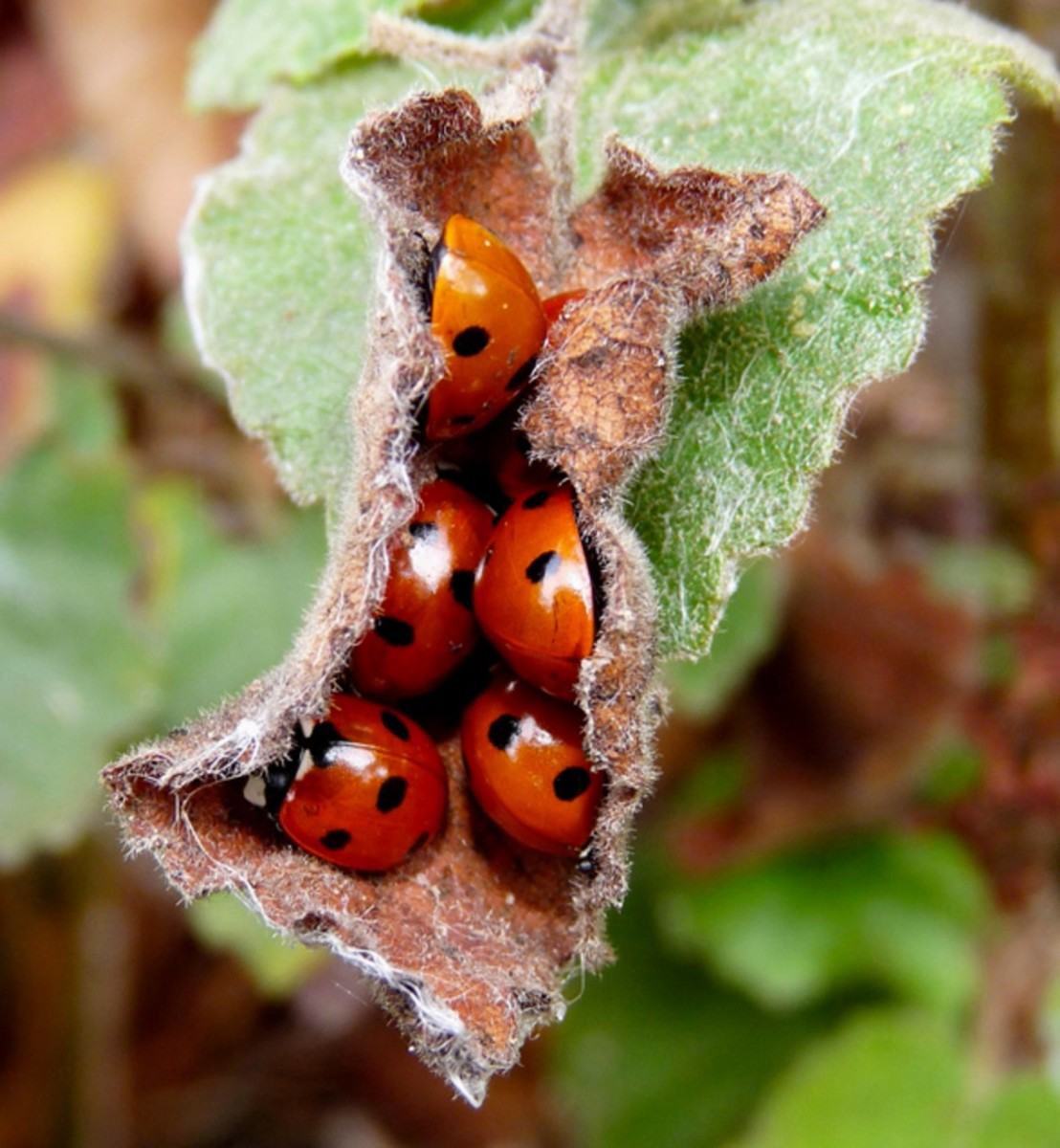 Ladybugs aggregate to help retain heat in winter.