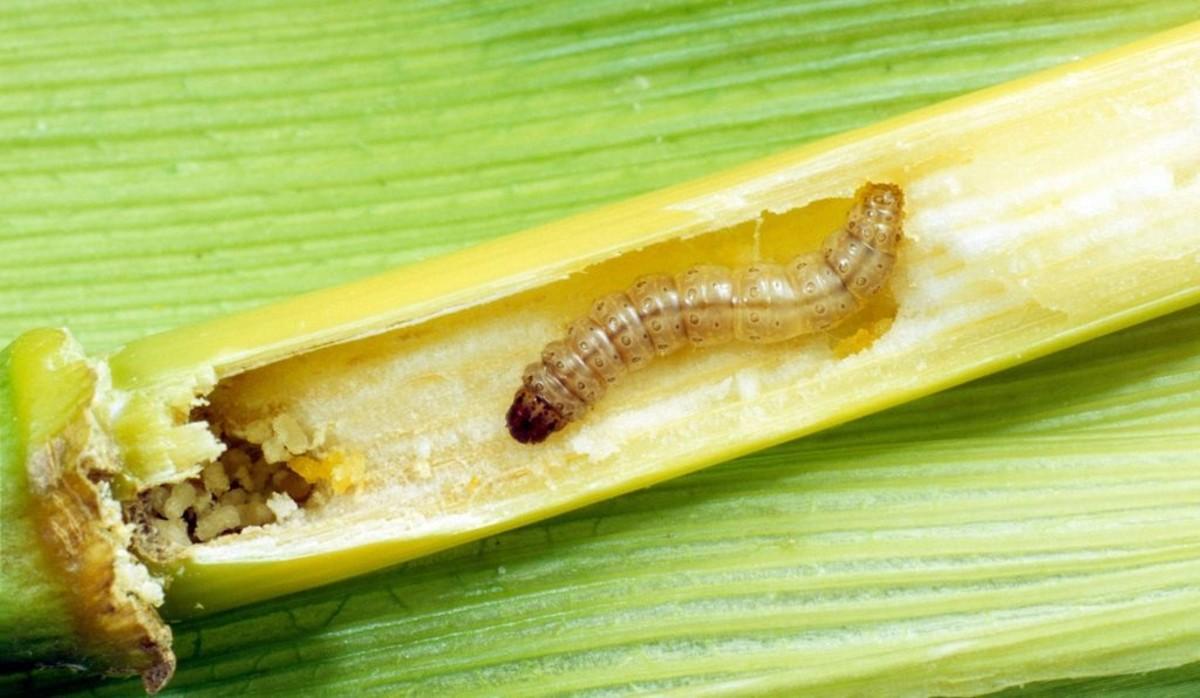 Corn borer larvae burrow into corn stalks before entering diapause.