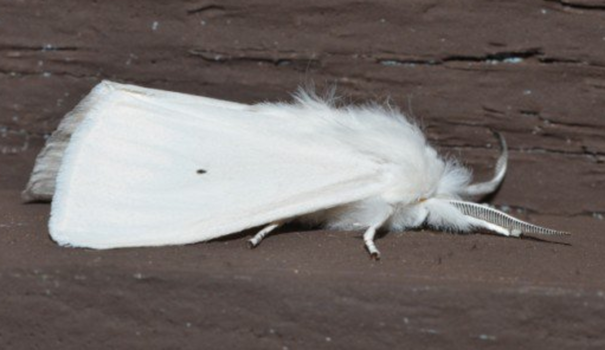 Yellow Woolly Bear Moth