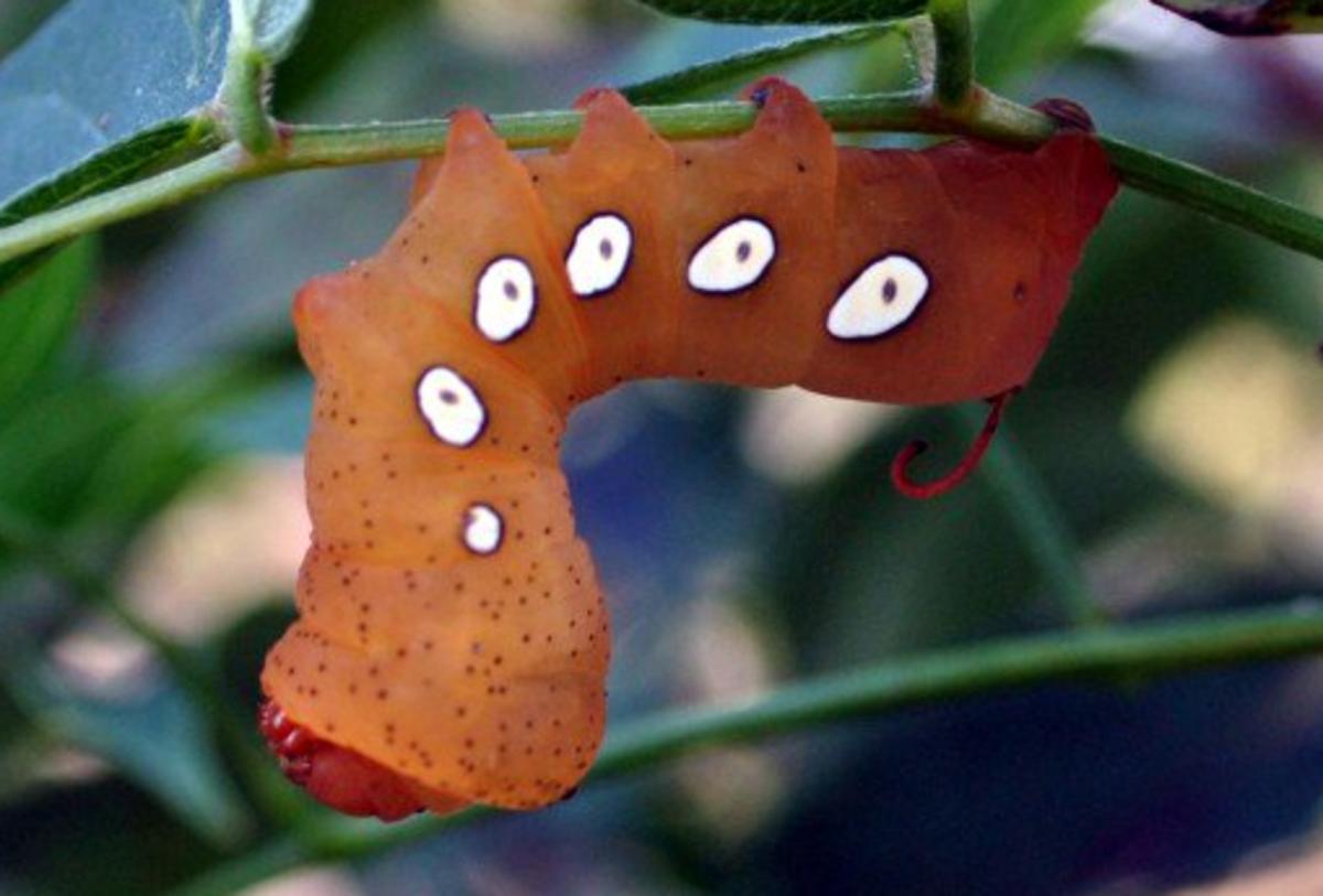 Pandorus Sphinx Moth Caterpillar
