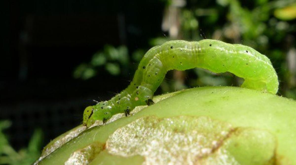 Cabbage Looper Moth Caterpillar