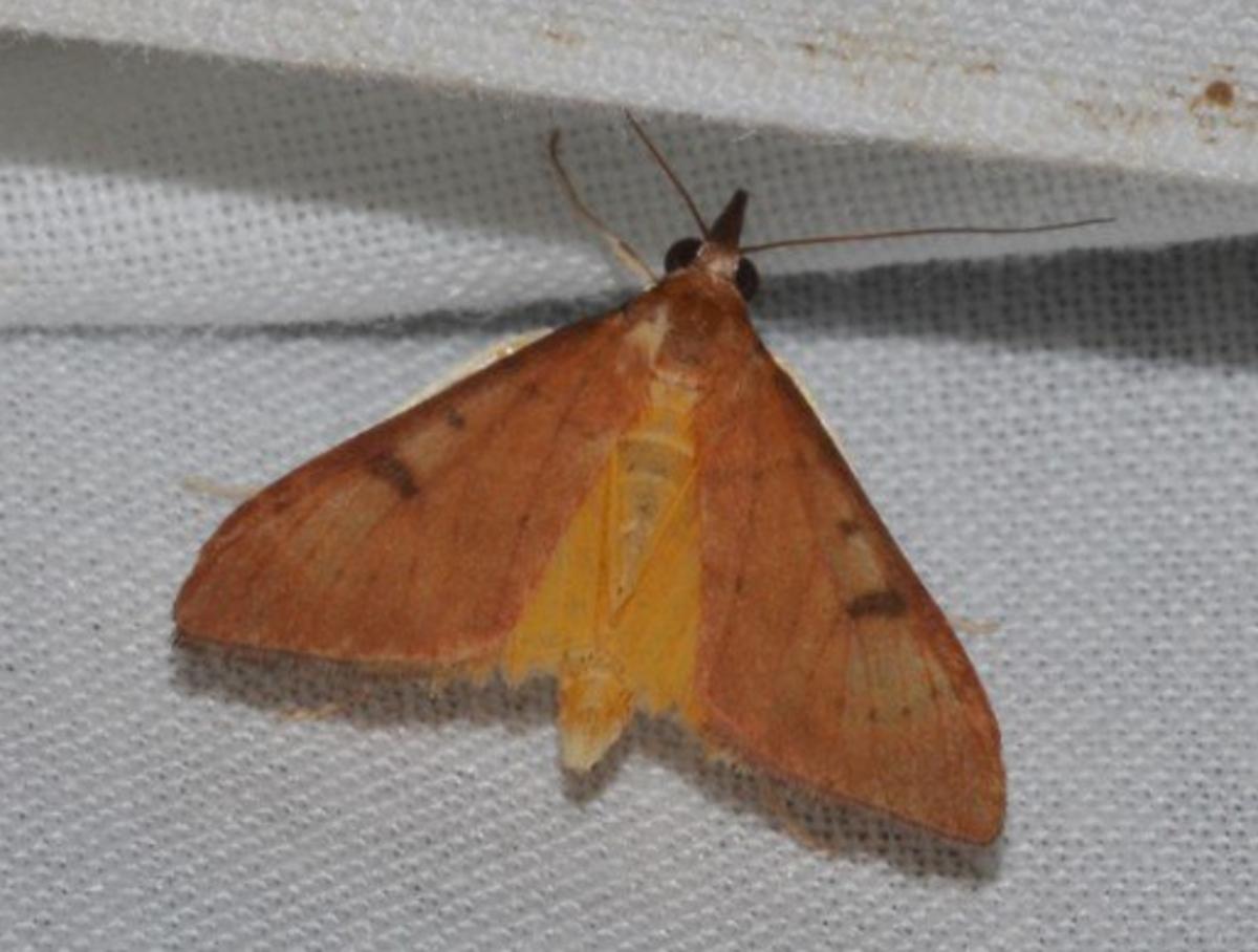 Genista Broom Moth