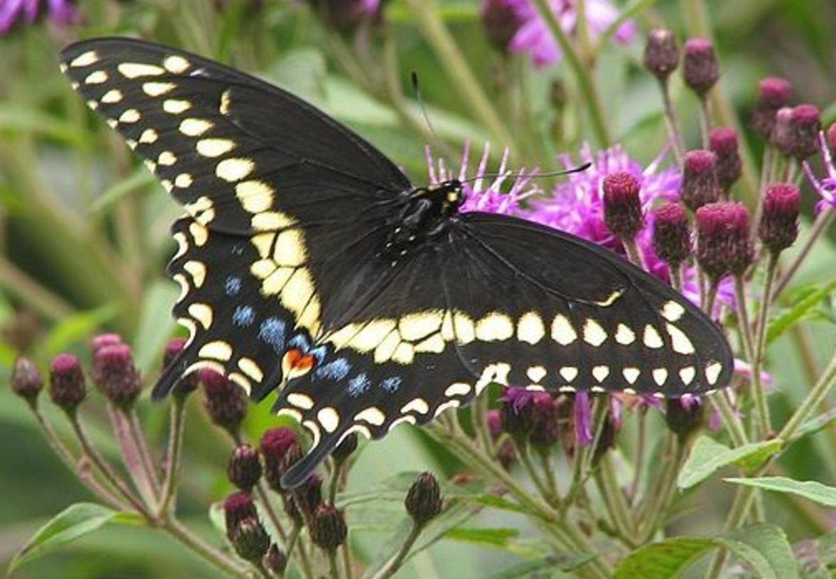 garden-caterpillar-identification